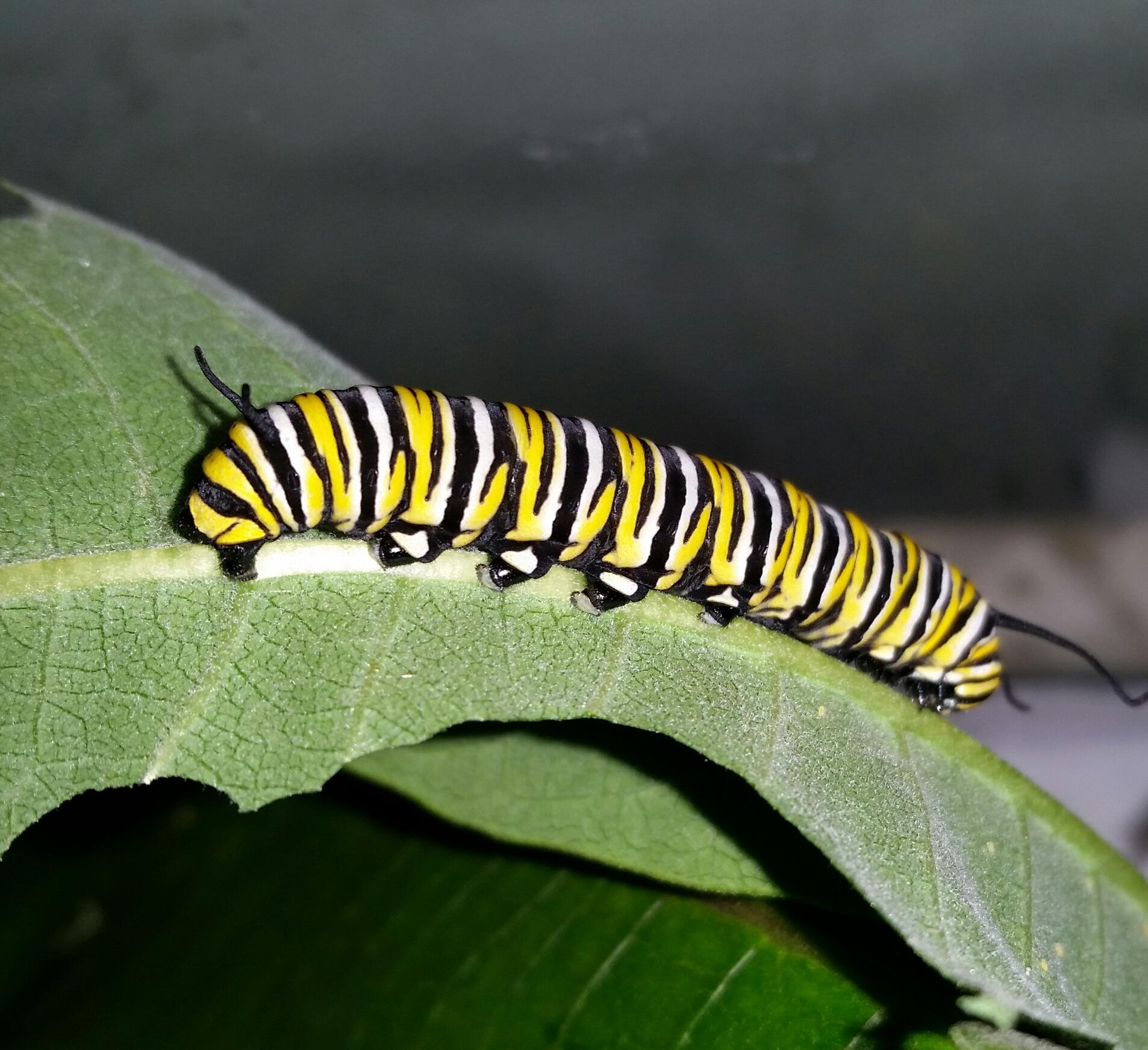 Caterpillar Eating