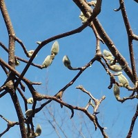 Springtime Buds