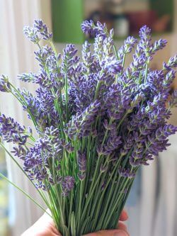 A woman's hand holds a bunch of freshly picked, fragrant lavender in a sunny kitchen.